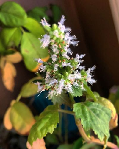 Blooming Patchouli Patchouli Plant Patchouli Flowers Patchouli Leaves Pogostemon Cablin Plants And Flowers Plants Exotic Plants Exotic Flowers Patchouli Nature Animals In The Wild Day Leaf Fragility Freshness No People Close-up Focus On Foreground
