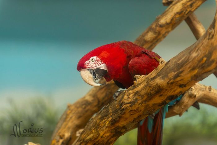 Peroquet Red Animals In The Wild No People Focus On Foreground One Animal Day Animal Wildlife Animal Themes Perching Bird