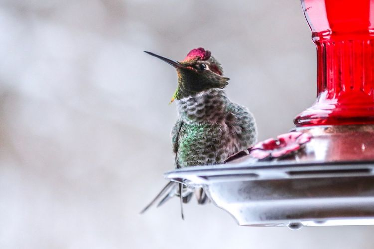 Animal Themes Bird Animal One Animal Hummingbird Red No People Animal Wildlife Vertebrate Animals In The Wild Close-up Food Day Nature Outdoors Bird Feeder Perching