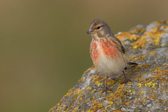 Linnet male in spring Carduelis Cannabina Hänfling Linotte Mélodieuse Pardillo Común Animal Themes Animal Wildlife Animals In The Wild Beauty In Nature Bird Day Lichen Linnet Male Breeding Plumage Nature No People One Animal Outdoors Perching Red