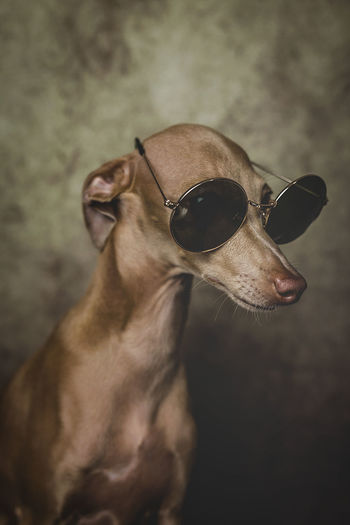 Close-up of dog wearing sunglasses against wall