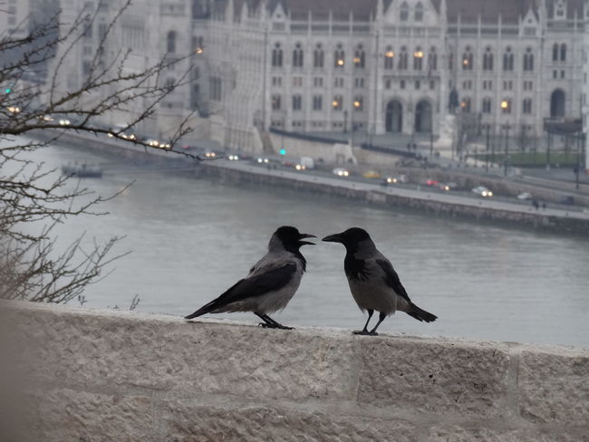 Animal Themes Birds Budapest Hungary The Purist (no Edit, No Filter) Donau Jackdaws Jackdaw Parlement Architecture