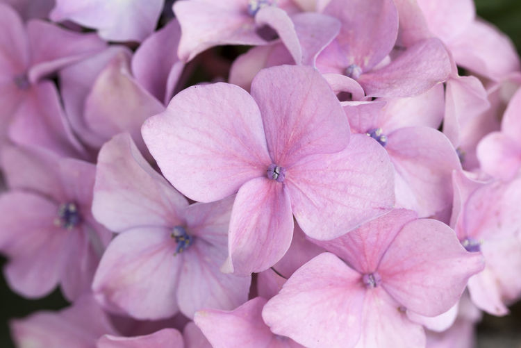 Close-up of pink hydrangea flowers