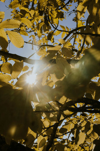 Leaves Yellow Leaves Green Color EyeEm Selects Sunlight Sunshine Sunrays Trees Walnut Beams Of Light No People Nature Outdoors Day Sky