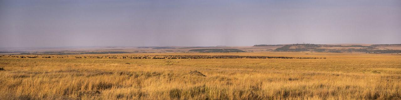 Wildebeest Migration Kenya Masai Mara Millions Of Wildebeests Nature Siddharth Varma No Peole Panoroma Wildebeest Migration