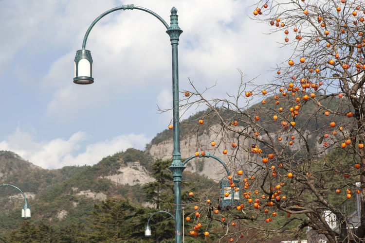 Low angle view of street lights by persimmon tree against mountains
