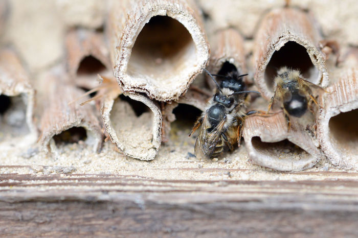 wild solitary bees (osmia bicornis) mating on insect hotel at springtime Animal Themes Animal Wildlife Animals In The Wild Bee Bees Close-up Honeycomb Insect Box Insect Hotel Insect Shelter Mating Mating Pair Of Insects Nature Osmia Bicornis Outdoors