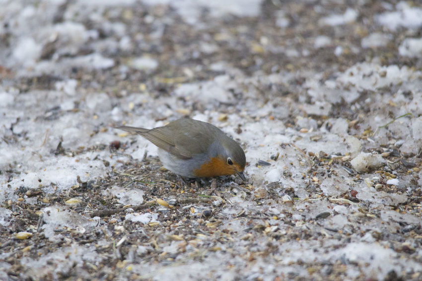 male robin in courtship plumage sits in the snow Animal Themes Animals In The Wild Beach Close-up Day Nature No People One Animal Outdoors Sand