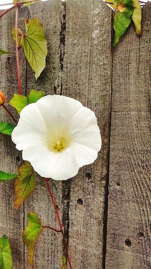 Morning glory. Flower... Taking Photos Magic... Loving Life! ! !