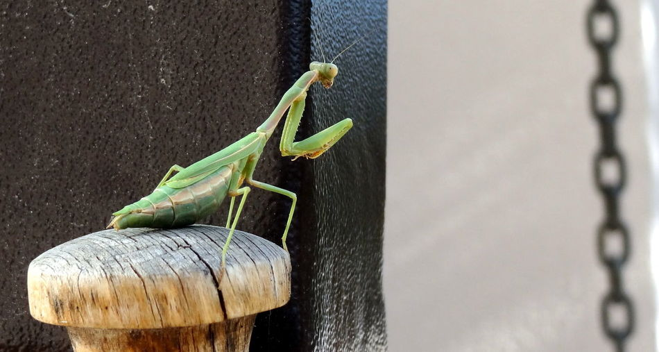 Animal Themes Beauty In Nature Close-up Green Color Green Praying Mantis Insect Nature No People One Animal Prayingmantis Waiting For Lunch Waiting For The Fly Wood - Material