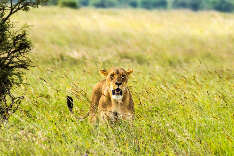 Animal Themes Animal One Animal Mammal Grass Plant Field Animal Wildlife Animals In The Wild Vertebrate Land Nature Day No People Sunlight Growth Portrait Green Color Outdoors Lion Lion - Feline Lioness Nairobi National Park Africa Kenya