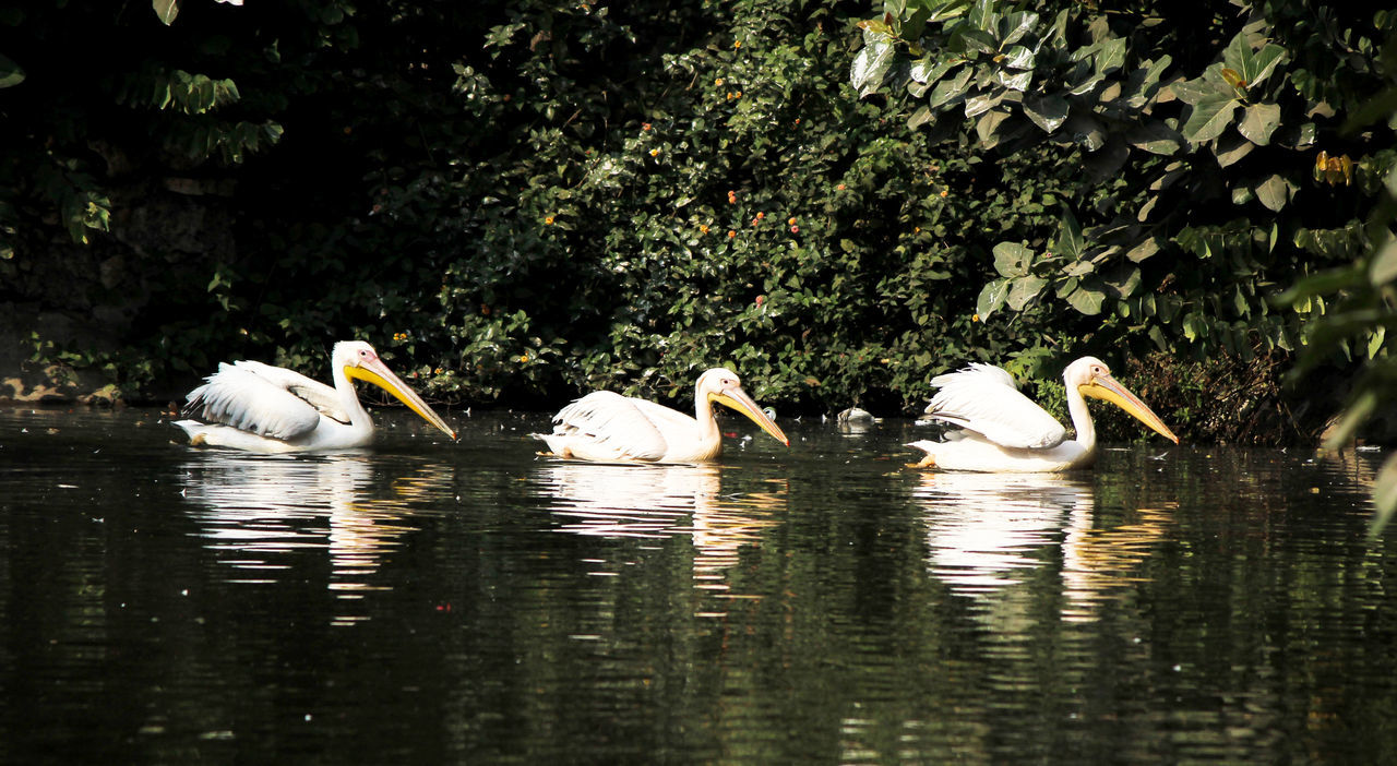 animals in the wild, bird, animal themes, lake, water, nature, animal wildlife, no people, reflection, waterfront, swan, day, beauty in nature, togetherness, outdoors, swimming