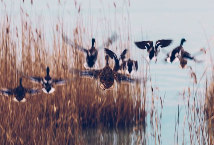 Hungary Animal Themes Animals In The Wild Balaton Beauty In Nature Bird Duck Ducks Ducks At The Lake Flying Flying Bird Lake Lakeshore Lakeside Motion Movement Nature Nature_collection Nature_perfection Naturelovers No People Outdoors Water