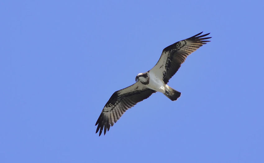 This Osprey was seen in Elstead, Surrey on 5th June 2016. It is some 700 miles south of where it should have been at that time. But what a beautiful surprise. Beauty In Nature Bird Bird Of Prey Bird Photography Birds In Flight Birds Of EyeEm  Birds_collection Clear Sky Flying Freedom Lost Or Lazy? Low Angle View Mid-air Nature Nature Photography Nature_collection Osprey  Pandion Haliaetus Pandionidae Power In Nature Spread Wings Wildlife