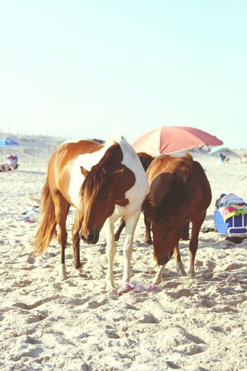 Sand Day Outdoors Beach No People Maryland Assateague Island National Seashore Pony Sunny Wild