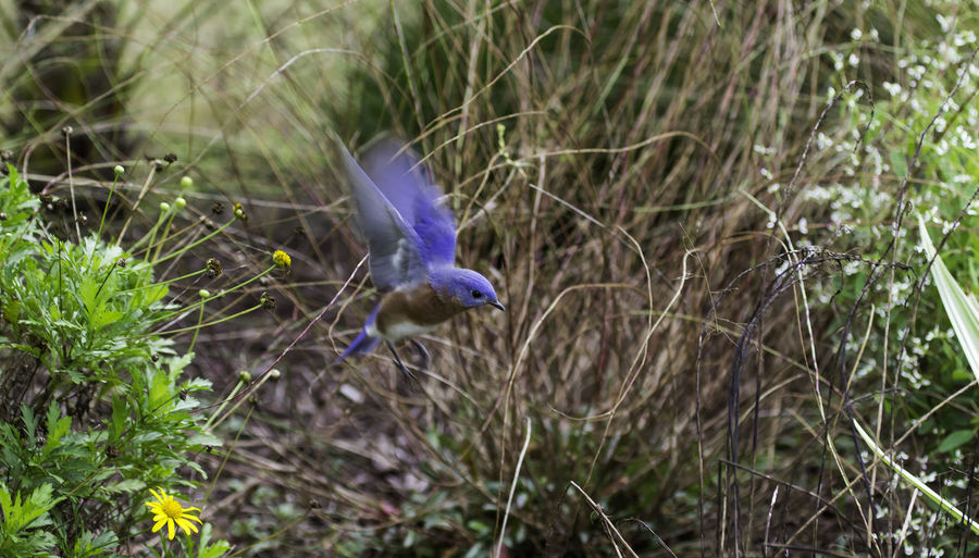 Bluebird in flight, my favorite, Backyard Photo Taking Photos Open Edit For Everyone Enjoying Life One Of My Favorite Things Birds_collection EyeEm Birds Bluffton Sc, Check This Out Bird Photography