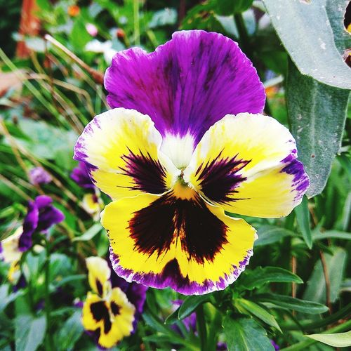 Flower Petal Flower Head Fragility Beauty In Nature Nature Growth Freshness Plant Blooming No People Day Outdoors Close-up Yellow Pansy Flower Pansies Pansy Orchid Nature Beauty In Nature Plant Freshness Yellow Flowers Violet Flowers