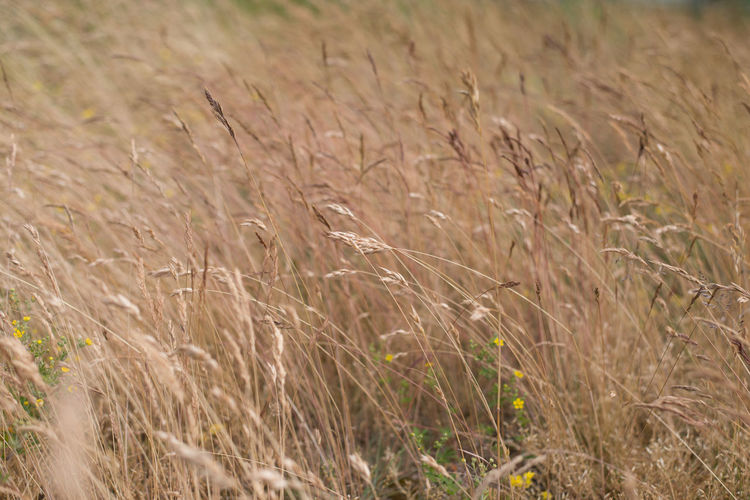 Full frame shot of stalks in field