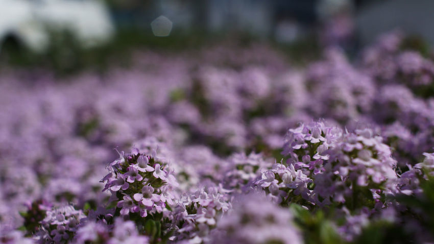Flower Purple Day Close-up Nex5 City Life Takumar 28mm F3.5 Plant City
