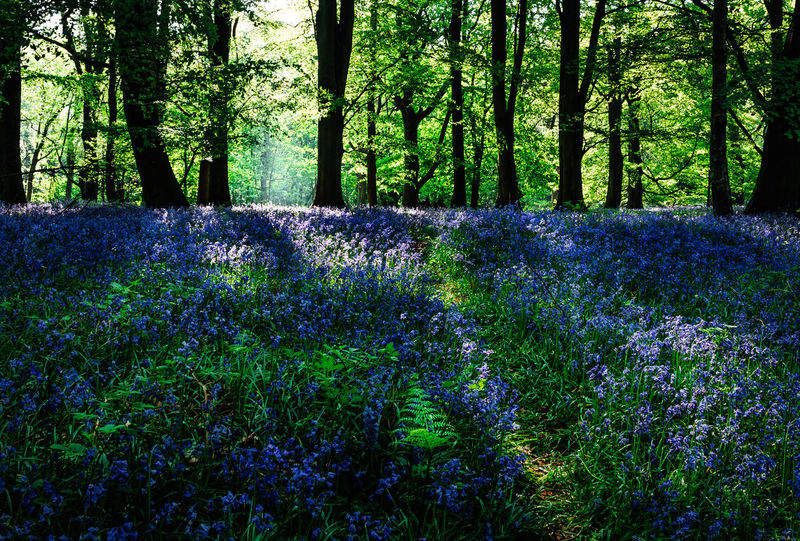 Bluebells carpet the forest floor near Cornbury Park, Oxfordshire, England, United Kingdom. Green Misty Trees Beauty In Nature Blue Bluebell Bluebells Flower Flowerbed Flowering Plant Flowers Forest Forest Photography Green Color Growth Plant Purple Spring Tranquil Scene Tranquility Tree Tree Trunk Trunk WoodLand