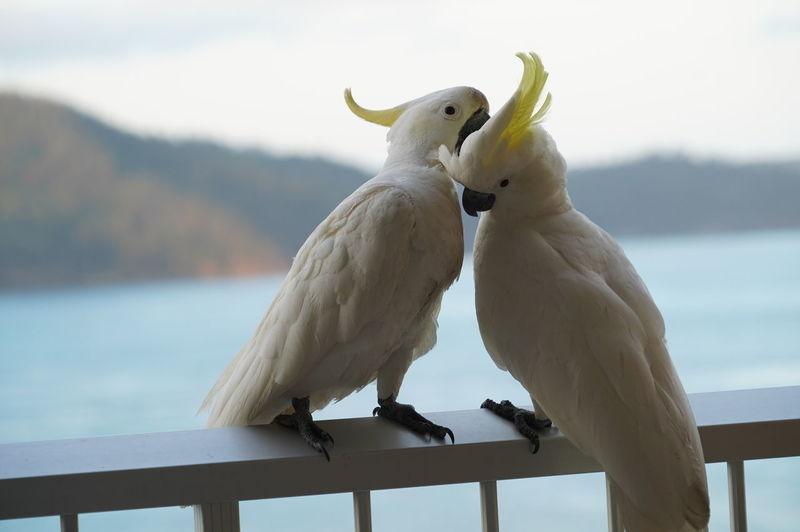 Cockatoos perching on railing