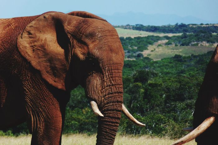 EyeEm Selects Animal Wildlife Elephant Animals In The Wild African Elephant Animal Nature One Animal No People Outdoors Safari Animals Animal Trunk Day Tusk Mammal Beauty In Nature Sky Animal Themes