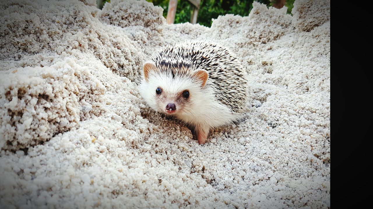 one animal, animal themes, hedgehog, mammal, animals in the wild, looking at camera, no people, portrait, pets, domestic animals, day, outdoors, nature, close-up
