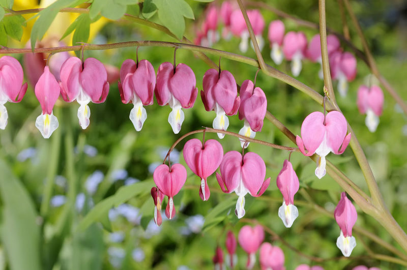 heart flower Blooming Blossom Day Flower Flower Head Garden Green Color Growth Heart Flower Nature No People Outdoors Pink Color Plant Spring Springtime White