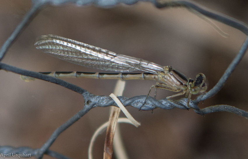 First damselfly of the year Animal Themes Animals In The Wild Close-up Damselfly Damselfly Series Focus On Foreground Insect Mayfly Maytime Nature One Animal Outdoors Water Fly