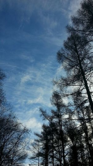 Blue Sky Coniferous Larches Beautiful Nature Taking A Walk Arboretum Clouds And Sky Meditating & Breathing The Purist (no Edit, No Filter)