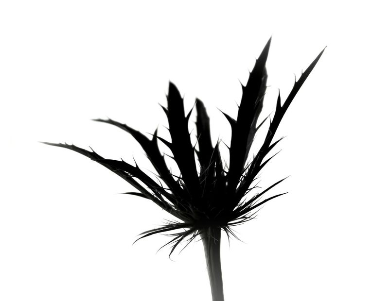 Plant Silhouette Close-up No People Nature Day Weed Botony Sillouette Simplicity Single Object Fine Art Photography EyeEm Masterclass Light And Shadow Black And White Photography Monochrome Monochrome Photography Spider Plant Thorns Details Details Of Nature Nature Flowerporn Simple Photography Single Flower