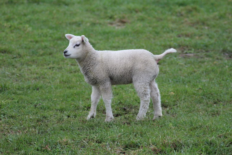 Sheep Mammal Animal Grass Animal Themes One Animal Lamb Land Livestock Field Standing Young Animal No People Outdoors