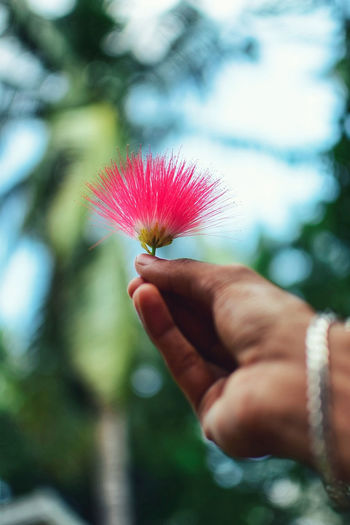 Close-up of hand holding pink flower