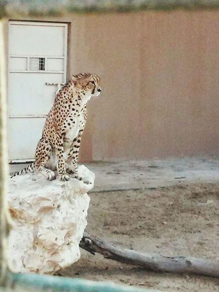 Zoo Leapord EyeEm Best Shots Zoo Animals  Animals Posing Animalphotography Alareen Bahrain