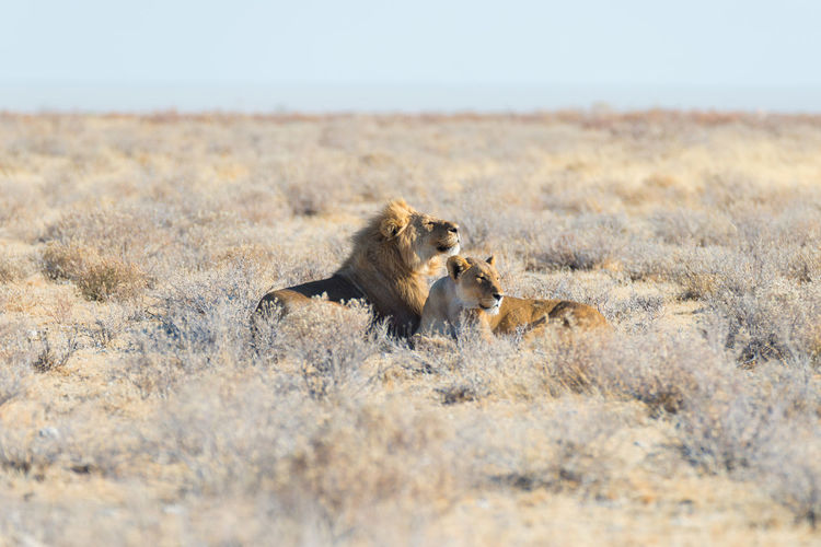 Lion and lioness relaxing in forest