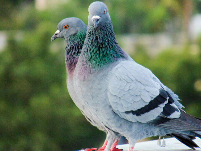 They wer posing for me ...😘😘😘😘From My Point Of View Week Of Eyeem EyeEm Best Shots EyeEm Nature Lover EyeEm Gallery Close-up Close Up Photography Dove Love Dove Of Peace Dove In The City Posing For The Camera Looking At Camera Two Dove Friendship Friendsforever Friends ❤ Looking To The Other Side Birdsofinstagram Birdstagram Birds Of EyeEm  Bird Eyes View Femalephotographerofthemonth