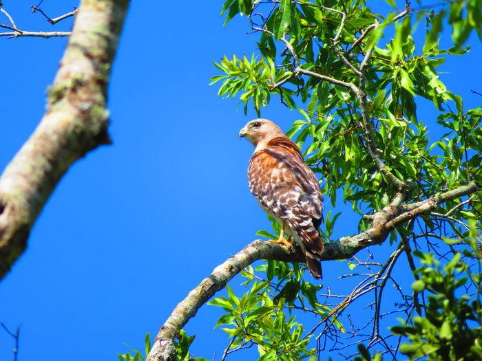 Wild hawk Hawks Hawks Of Eyeem Florida Bird Perching Tree Branch Blue Clear Sky Full Length Sky Bird Of Prey Hawk - Bird Hawk