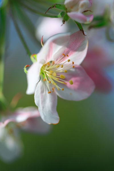 Apple Tree Blossoms In Spring In The Garden Of Egmond Abbey In Holland Copy Space Egmond Abbey Sunlight Ancient Celts Apple Tree Apple Tree Blossoms Apple Tree Branch Art For Home Beauty In Nature Botany Close Up Flower Close Up Of Apple Tree Blossoms Fertility Floral Photography Garden Holland No People, Outdoors Pastel Colors Soft Pastels Spa Art Spring Stamens Symbol Of Love Symbol Of Sensuality