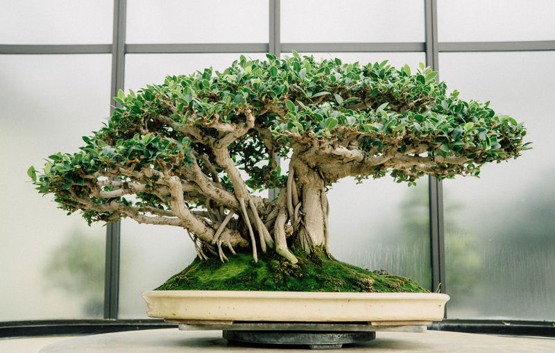 Bonsai growing on table against window