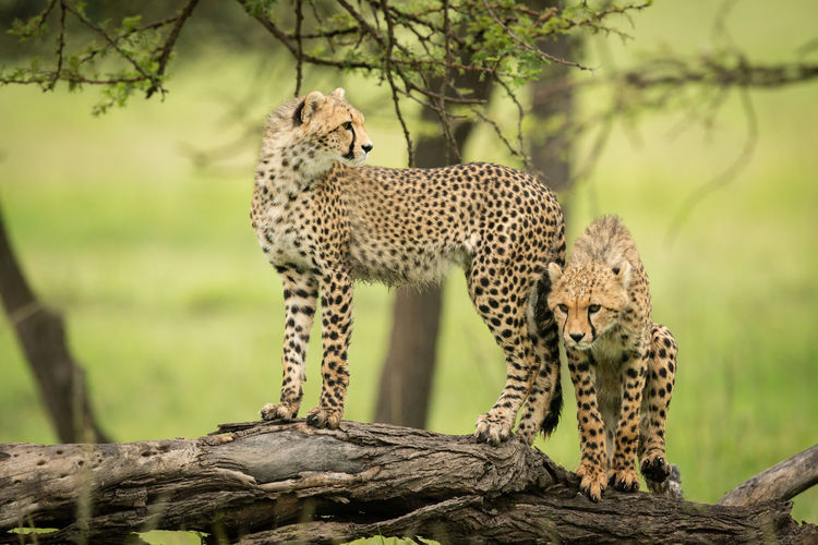 Cheetah cub stands on log beside another
