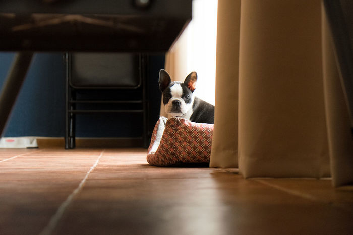Black And White Dog Ambient Light Cuteness Looking At Camera Boston Terrier Confused Dog Domestic Animals Home Interior House Pet Lovable Pets Warmthandsunshine Alert Dog Cosy Home Cosy Light
