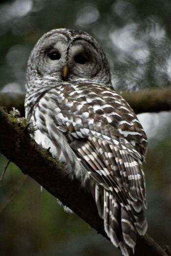Barred Owl Owl Portrait. Bird One Animal Bird Of Prey Animal Wildlife Nature Outdoors Animal Themes Animals In The Wild Day Owl Close-up No People Beak Perching