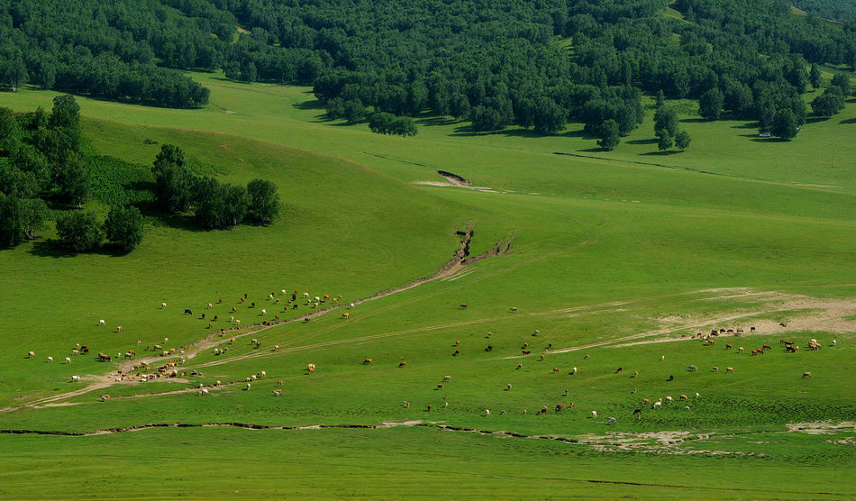 Grassland Grassland Green Color Herd Of Cows Landscape No People Outdoors Tree