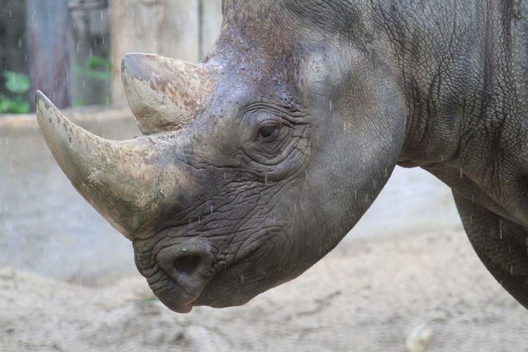 Close-up Day Horn Mammal No People One Animal Outdoors Rhino Rhino Head Rhino Horn Rhinoceros