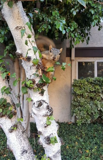 Peek-a-Boo Squirrel Tail Climbing Climb Tree Architecture Plant Built Structure Ivy Plant Bark Bark Growing Tree Trunk Vine