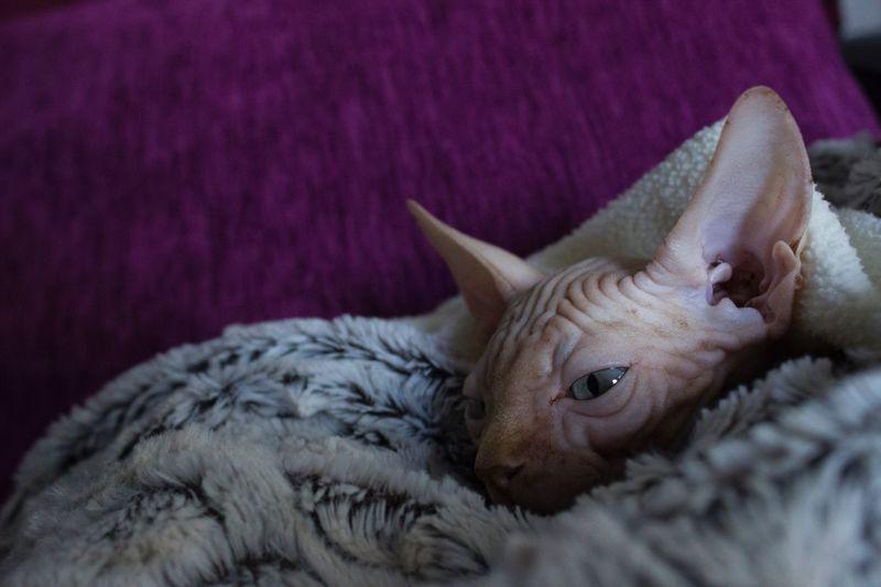 Close-Up Of Sphynx Cat
