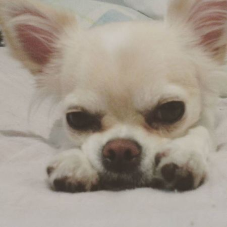 Le puedes decir que no a esta tierna carita? Could you say no to this cute little face? Chihuahualonghair Chihuahuasofinstagram Pets Perrosdeinstagram petstagram chihuahuas perrosfelices funkyperro petco petcomexico dogoftheday dogofthedayjp petoftheday petsmart