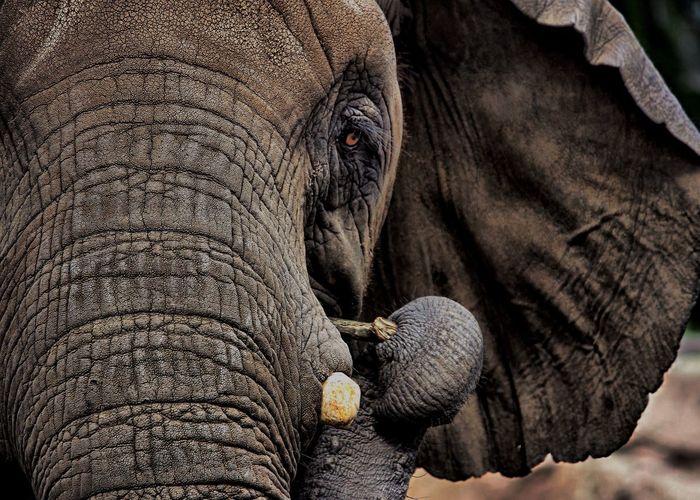 Africa Elephant EOS 6D Close Up Close-up Canon Wildlife Wildlife Photography Wild Animal Zoo Animals  Zoo