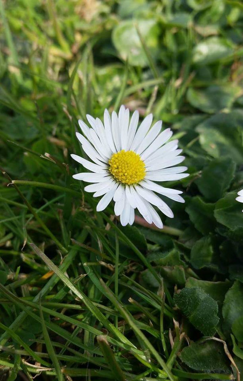 flower, nature, fragility, petal, flower head, beauty in nature, growth, white color, freshness, no people, green color, outdoors, plant, day, close-up, blooming