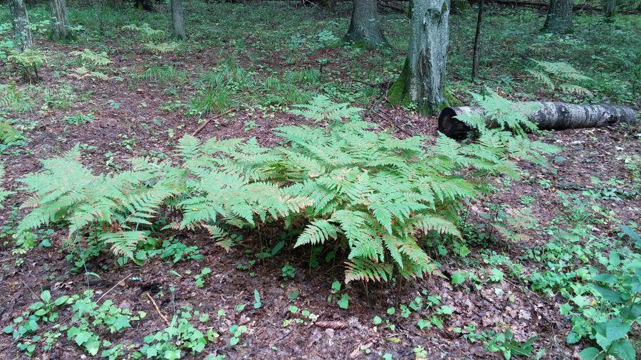 Plant Fern Leaf